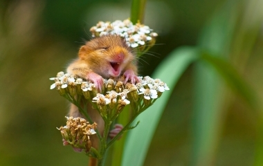 HotSpot_Laughing_Dormouse_002.jpg