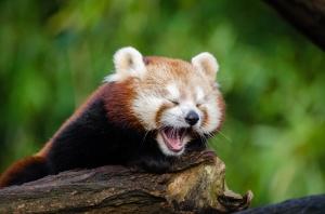 petit-panda-rouge-baillement