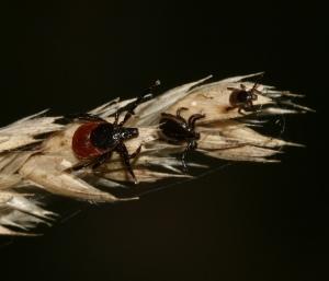 Ixodes_scapularis_S_Rae_flickr